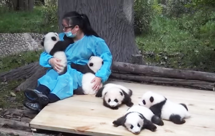 cute-funny-panda-cub-worlds-best-job (1)