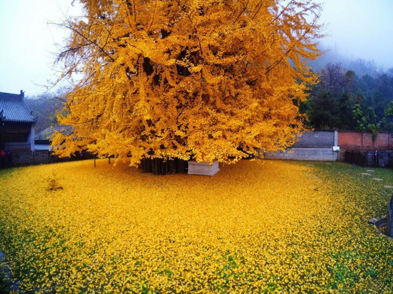 stunning-beautiful-yellow-leaves-ginko-tree-cover-old-buddhist-temple-ground-china (1)