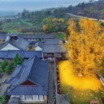 A 1400-year-old ginkgo tree in China