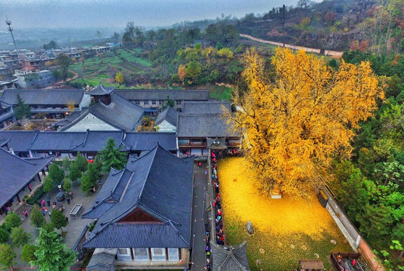 stunning-beautiful-yellow-leaves-ginko-tree-cover-old-buddhist-temple-ground-china (2)