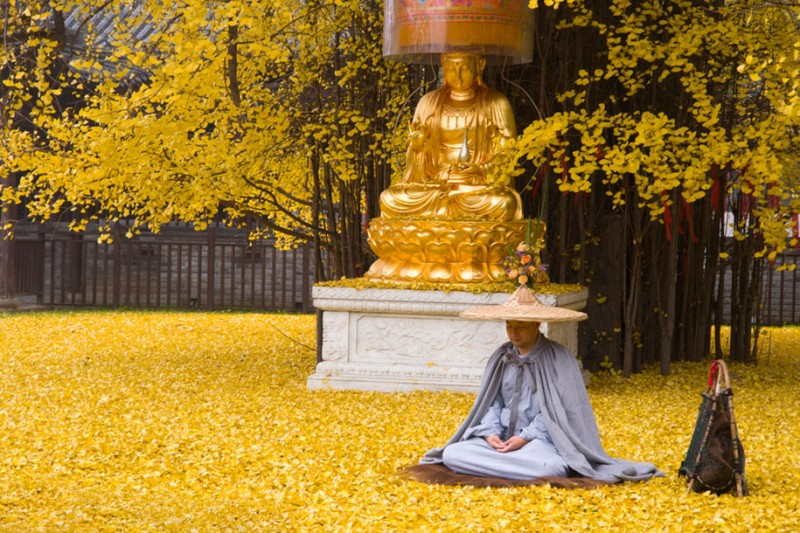 stunning-beautiful-yellow-leaves-ginko-tree-cover-old-buddhist-temple-ground-china (3)