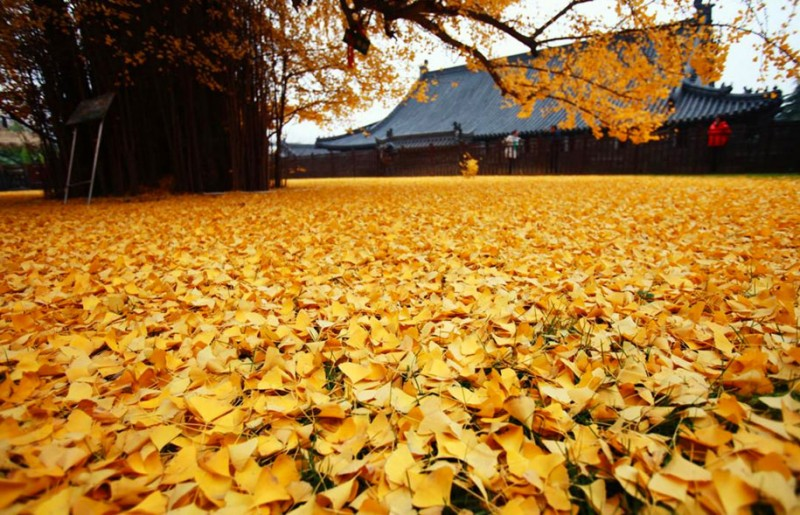 stunning-beautiful-yellow-leaves-ginko-tree-cover-old-buddhist-temple-ground-china (4)