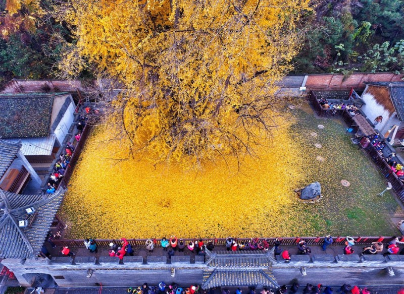stunning-beautiful-yellow-leaves-ginko-tree-cover-old-buddhist-temple-ground-china (5)