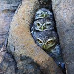 Adorable owl pictures by Thai bird photographer