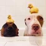 The affection between dog brothers and baby ducks