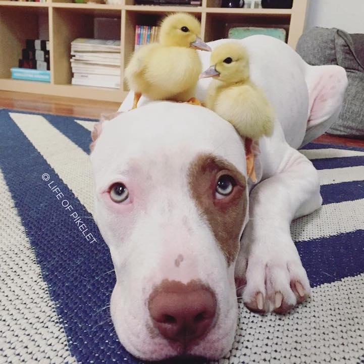 adorable-cute-photos-dogs-baby-ducks-family (3)