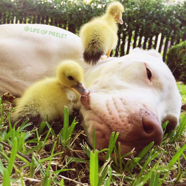 adorable-cute-photos-dogs-baby-ducks-family (5)