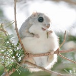Photo collection of cute flying squirrels