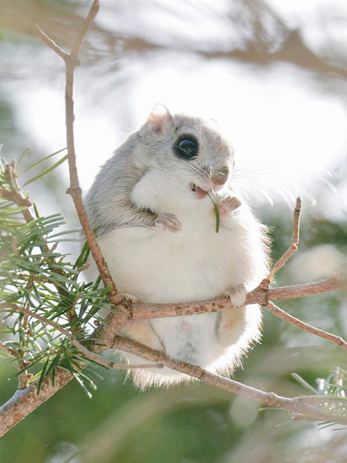 adorable-siberian-japanese-flying-squirrels-pictures (1)