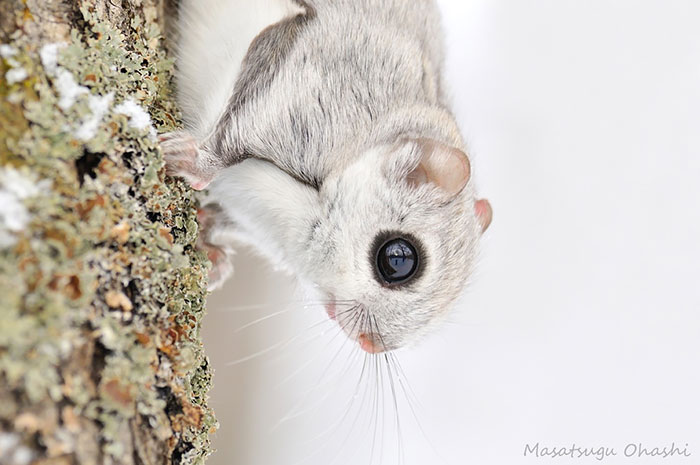 adorable-siberian-japanese-flying-squirrels-pictures (10)