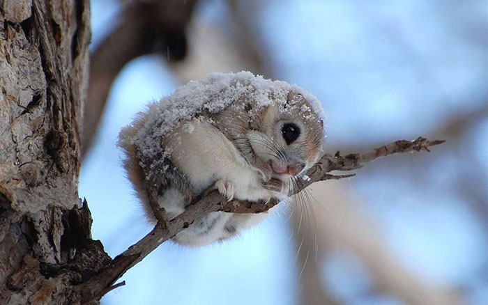 adorable-siberian-japanese-flying-squirrels-pictures (12)