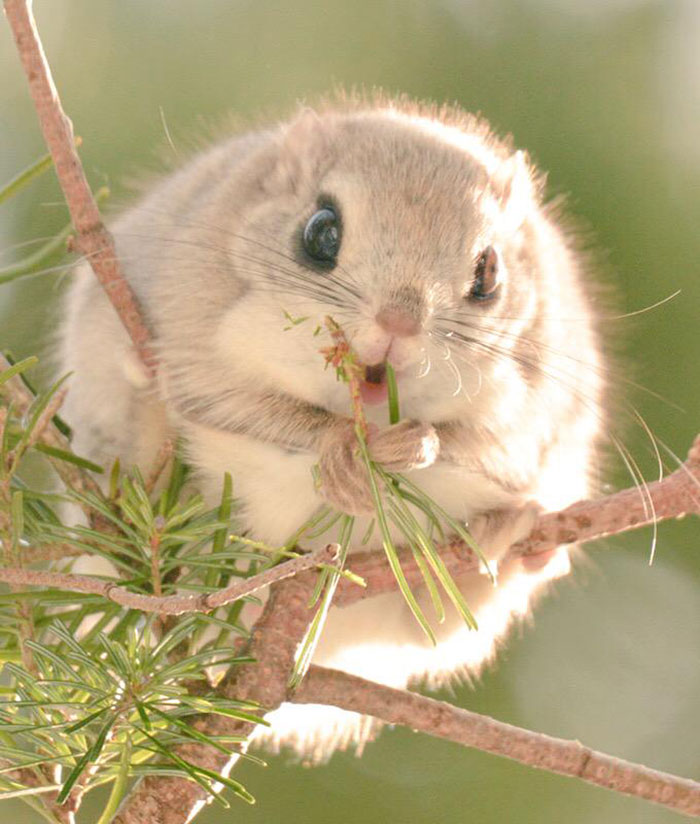 adorable-siberian-japanese-flying-squirrels-pictures (2)
