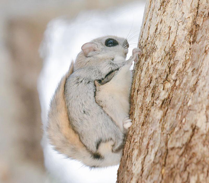 adorable-siberian-japanese-flying-squirrels-pictures (3)