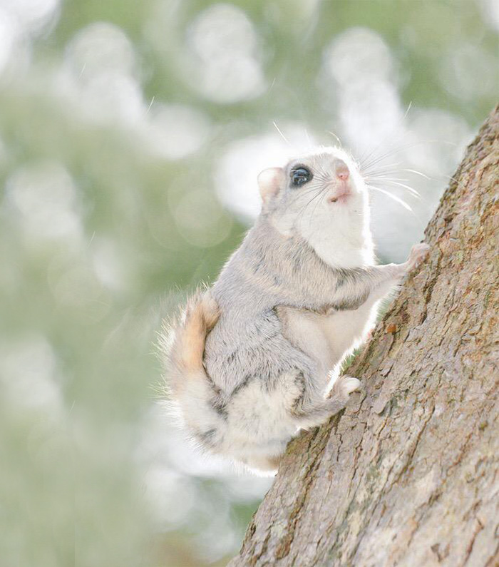 adorable-siberian-japanese-flying-squirrels-pictures (5)