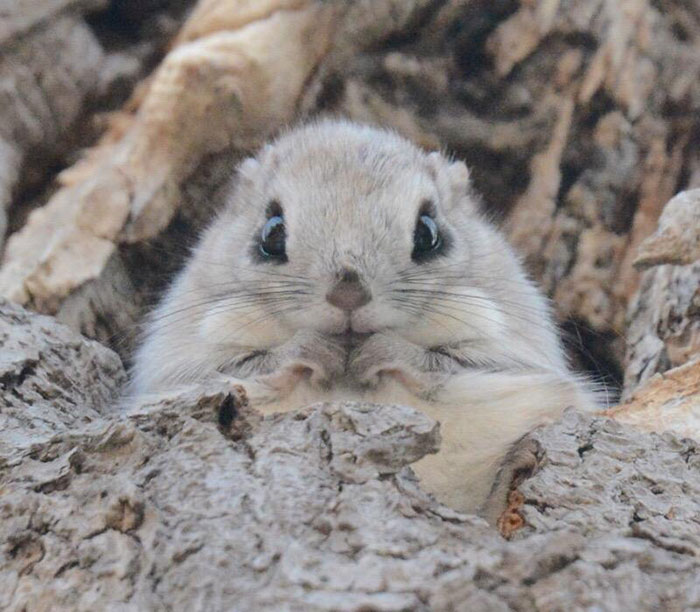 adorable-siberian-japanese-flying-squirrels-pictures (6)