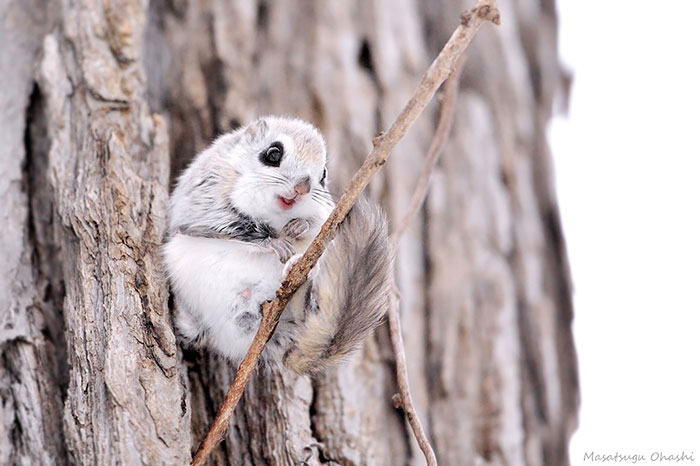 adorable-siberian-japanese-flying-squirrels-pictures (8)