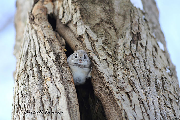 adorable-siberian-japanese-flying-squirrels-pictures (9)