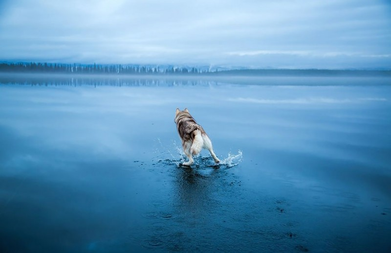 amazing-cool-photography-siberian-husky-water-dogs-pictures (1)