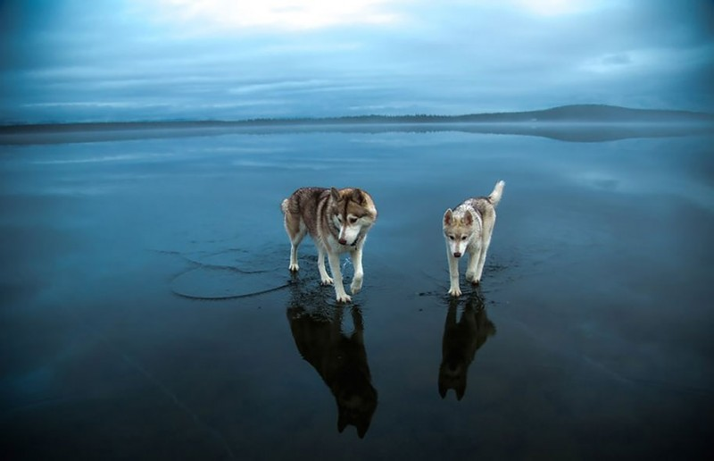 amazing-cool-photography-siberian-husky-water-dogs-pictures (2)