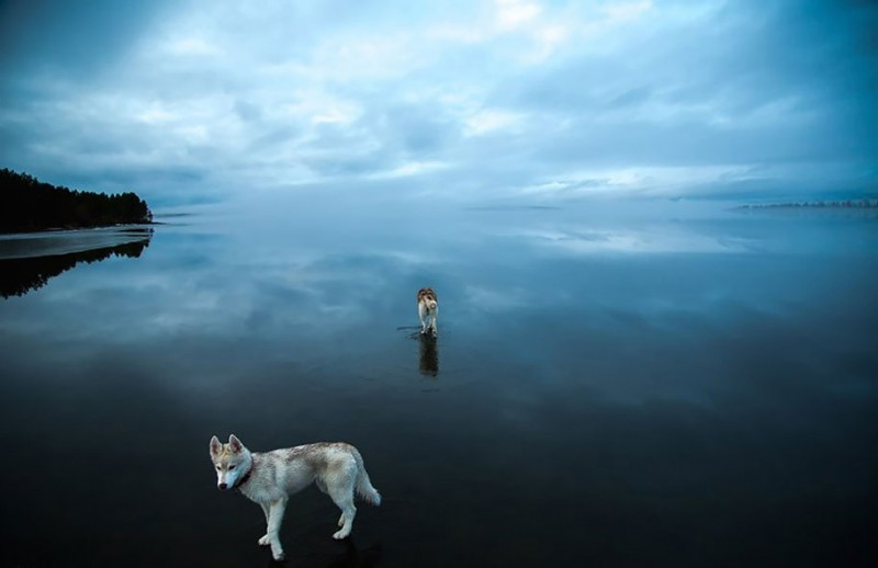 amazing-cool-photography-siberian-husky-water-dogs-pictures (3)
