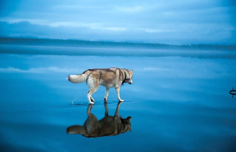 amazing-photography-siberian-husky-dogs-palying-pictures (2)
