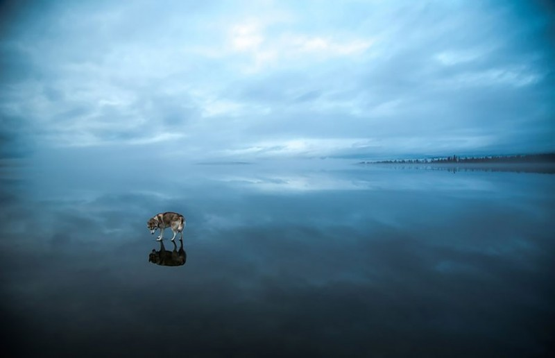amazing-photography-siberian-husky-dogs-palying-pictures (3)