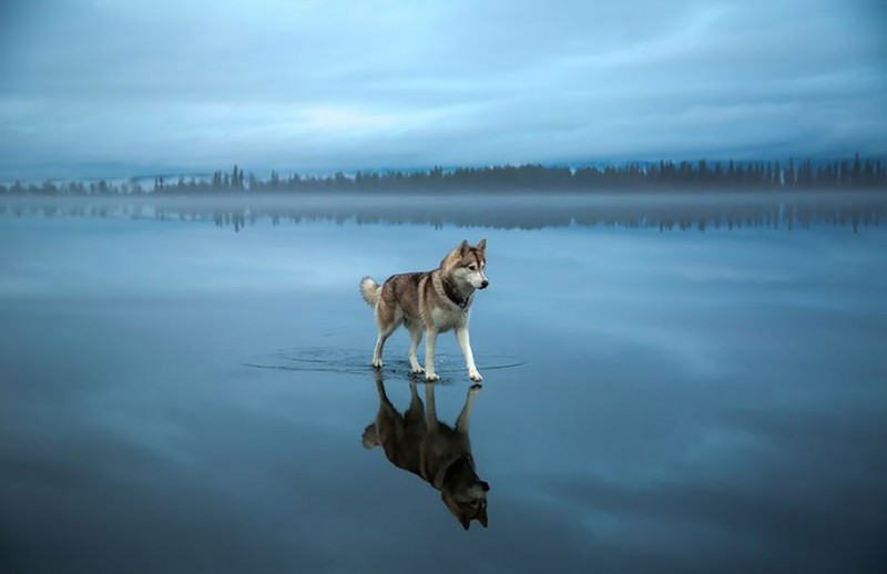 amazing-photography-siberian-husky-dogs-palying-pictures (4)