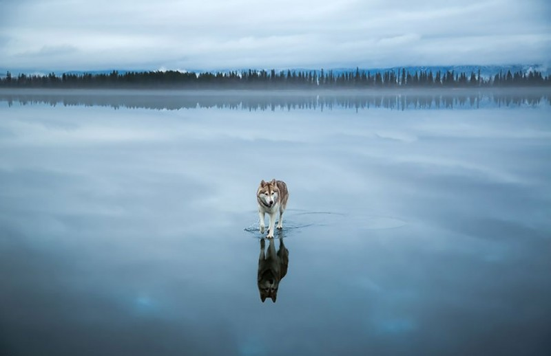 dog-photography-siberian-husky-playing-pictures (1)