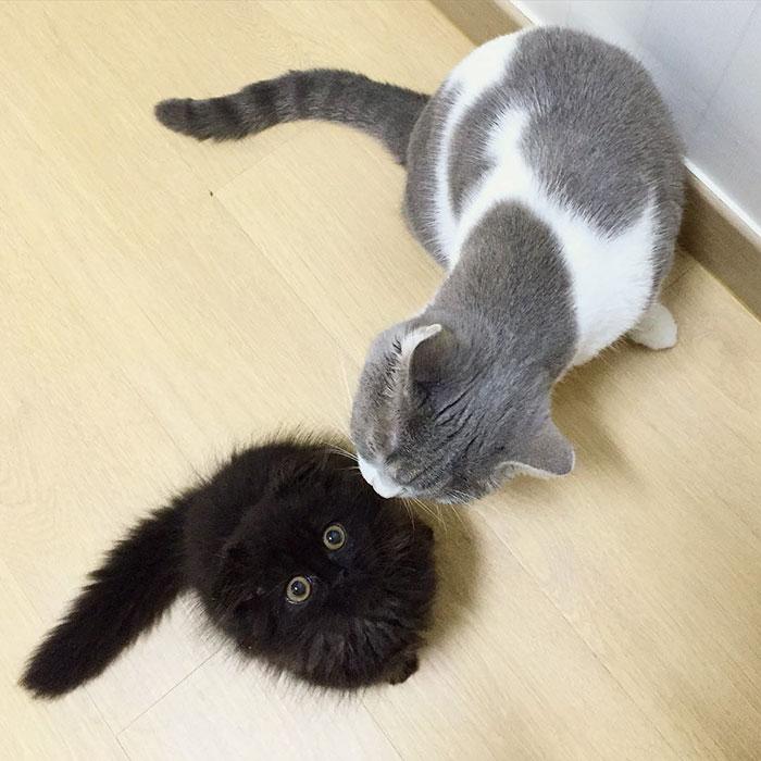 funny-biggest-cute-eyes-cat-black-gimo (14)