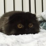 funny-biggest-cute-eyes-cat-black-gimo (5)