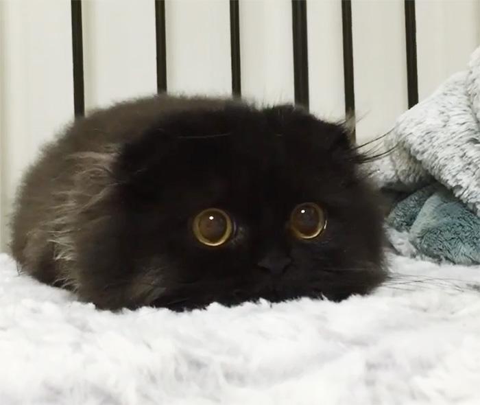 funny-biggest-cute-eyes-cat-black-gimo (5)