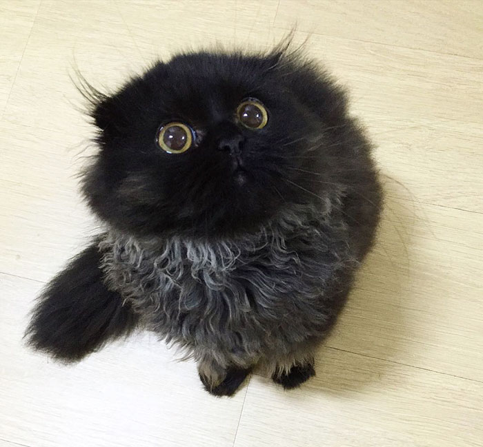 funny-biggest-cute-eyes-cat-black-gimo (8)