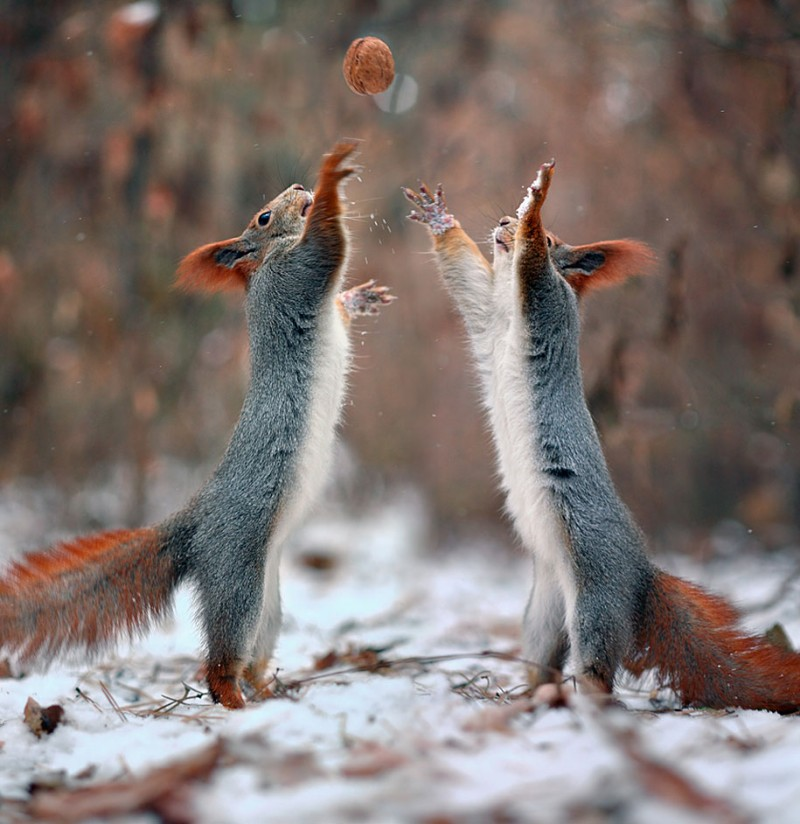 funny-cute-squirrel-fighting-playing-pictures (12)