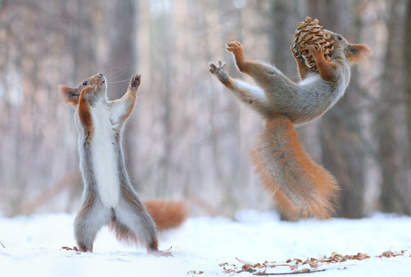 funny-cute-squirrel-fighting-playing-pictures (5)