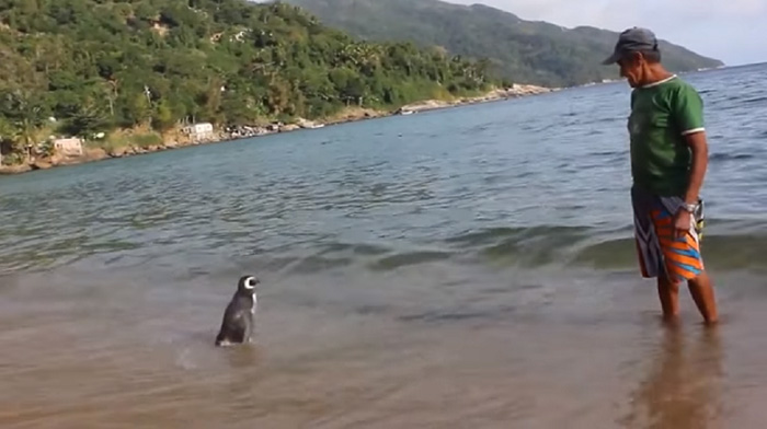 penguin-returns-old-man-swims-4000-miles (1)
