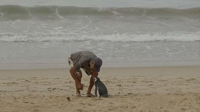 penguin-returns-old-man-swims-4000-miles (3)