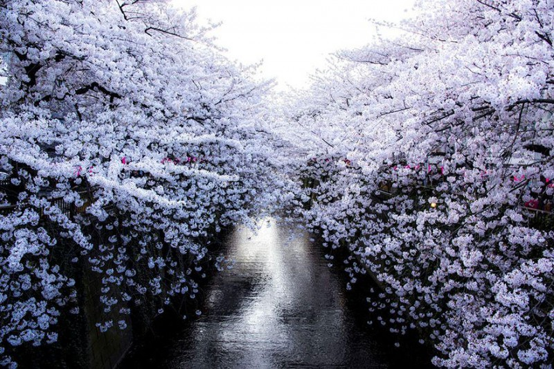stunning-beautiful-japan-cherry-blossoms-season-pictures (1)