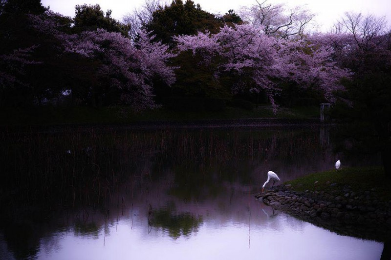 stunning-beautiful-japan-cherry-blossoms-season-pictures (10)
