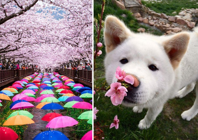 stunning-beautiful-japan-cherry-blossoms-season-pictures (13)