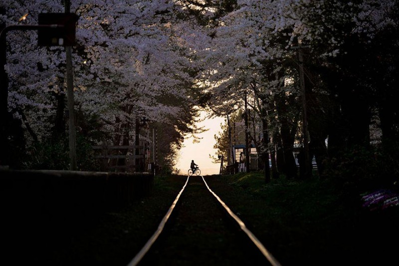 stunning-beautiful-japan-cherry-blossoms-season-pictures (16)