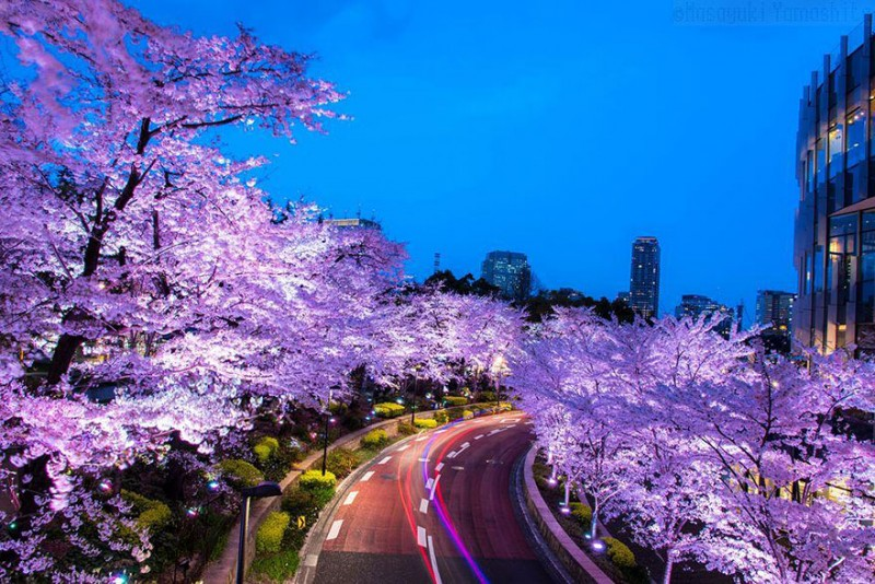 stunning-beautiful-japan-cherry-blossoms-season-pictures (2)