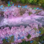 Gorgeous photos of cherry blossom to celebrate the natural wonders in Japan