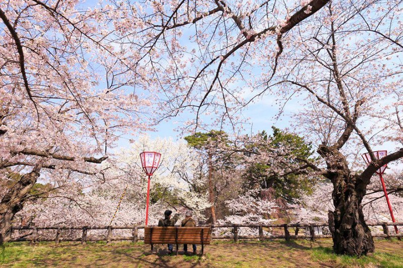 stunning-beautiful-japan-cherry-blossoms-season-pictures (6)