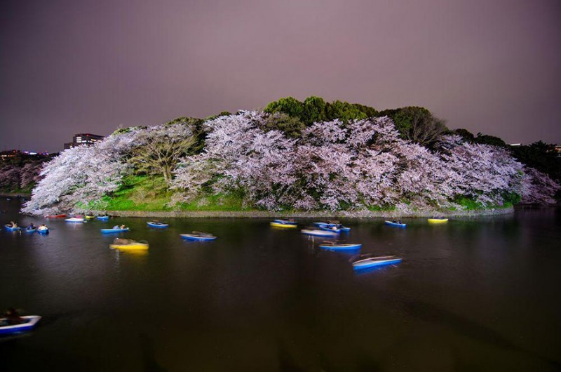 stunning-beautiful-japan-cherry-blossoms-season-pictures (9)