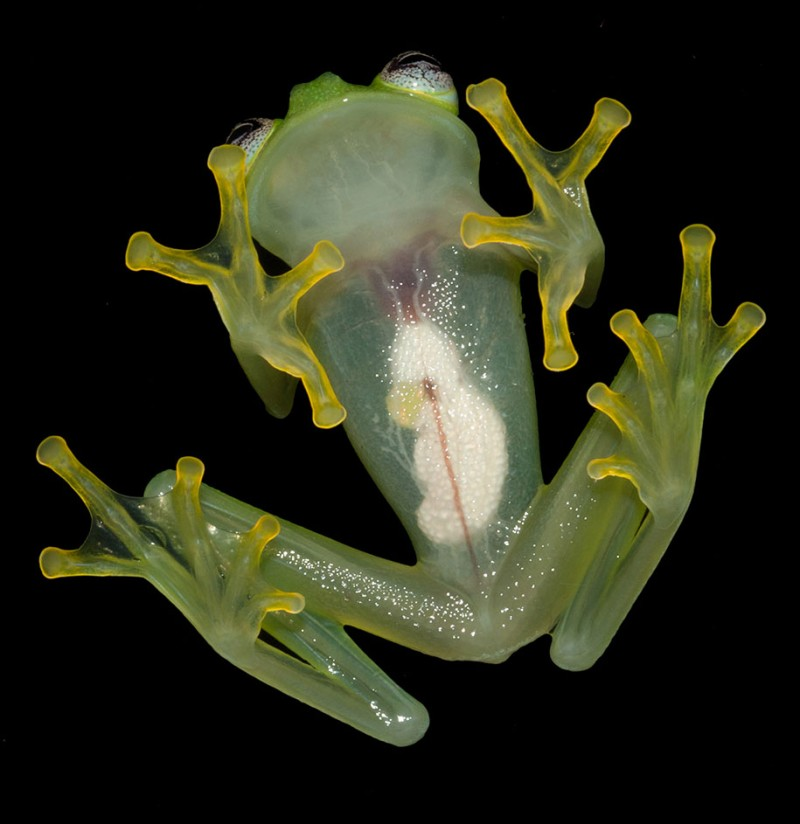 translucent-glassfrog-kermit-frog-look-alike-costa-rica (1)