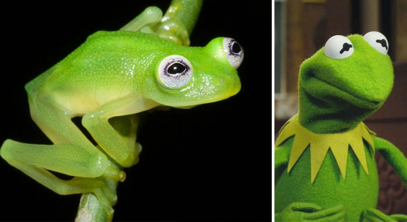translucent-glassfrog-kermit-frog-look-alike-costa-rica (2)