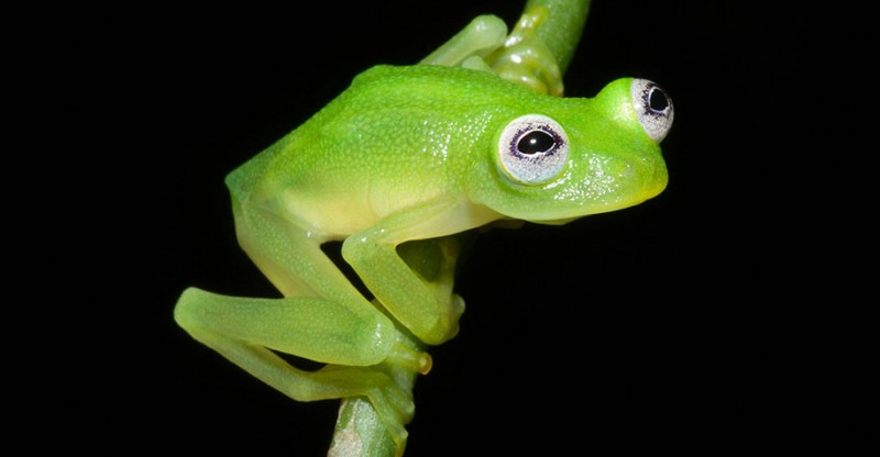 translucent-glassfrog-kermit-frog-look-alike-costa-rica (3)