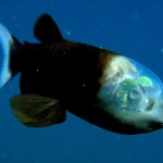 Amazing deep sea fish with transparent head