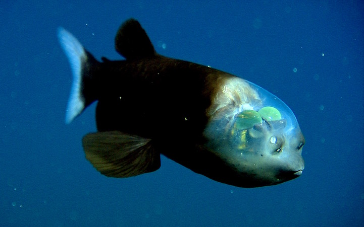 weird-bizarre-deep-ocean-fish-transparent-head (1)