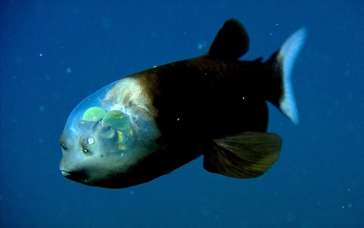 weird-bizarre-deep-ocean-fish-transparent-head (2)